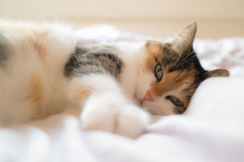 chat posé sur une couette blanche